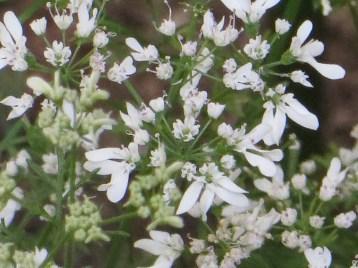 コリアンダー 花のアップ