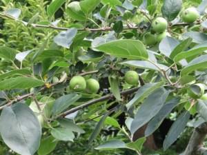 ワリンゴ 幼果のなっている様子 (品種:加賀在来)