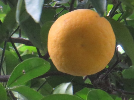 Bitter orange/ ダイダイ