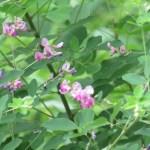 ハギ(ツクシハギ?) 咲き始めた萩
