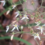 Strawberry Geranium/ユキノシタ