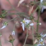 ユキノシタ 花の様子