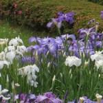 ハナショウブ 色々とりどりの花