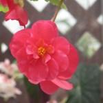 キュウコンベゴニア 赤の釣り下がり花