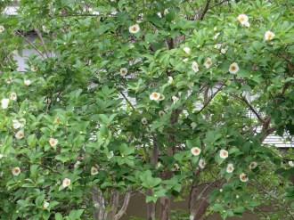 ナツツバキ たくさんの花の様子