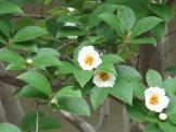 ナツツバキ 花の様子
