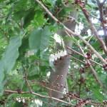 ネジキ 花のついている木の様子