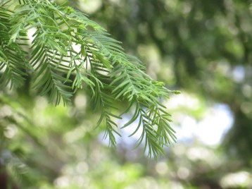 Dawn redwood/ メタセコイア