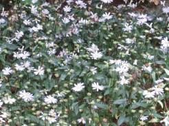 ミヤコワスレ 花の様子