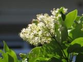 ネズミモチ 花の様子