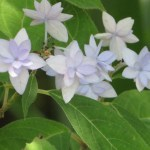 アジサイ 七段花(古い品種)花のアップ