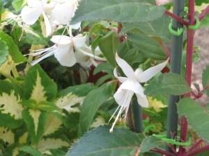フクシア 白花