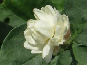 サンユウカ (ヤエサンユウカ) 花のアップ