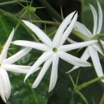 オオシロソケイ 花の姿