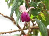フクシア 白と紫系