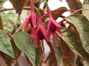 フクシア Hummingbird fuchsia