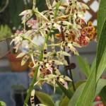 エピデンドラム Epidendrum prismatocarpum 花の姿