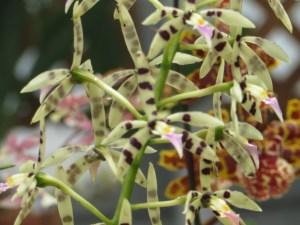エピデンドラム Epidendrum prismatocarpum 花のアップ