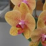 コチョウラン 薄オレンジ色の花のアップ Phalaenopsis Tsuei You Beauty Matou