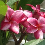 プルメリア 花のアップ (赤系)