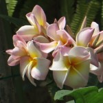 プルメリア 花のアップ (黄色・ピンク系)