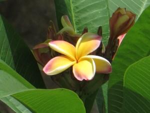 プルメリア 花のアップ (黄色系)
