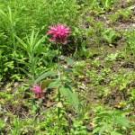 タイマツバナ ベルガモット 花の様子