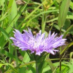 ストケシア 花のアップ