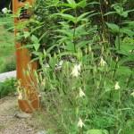 キバナノヤマオダマキ 花の姿