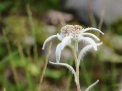ウスユキソウ 花のアップ