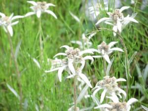 ハヤチネウスユキソウ 花の姿