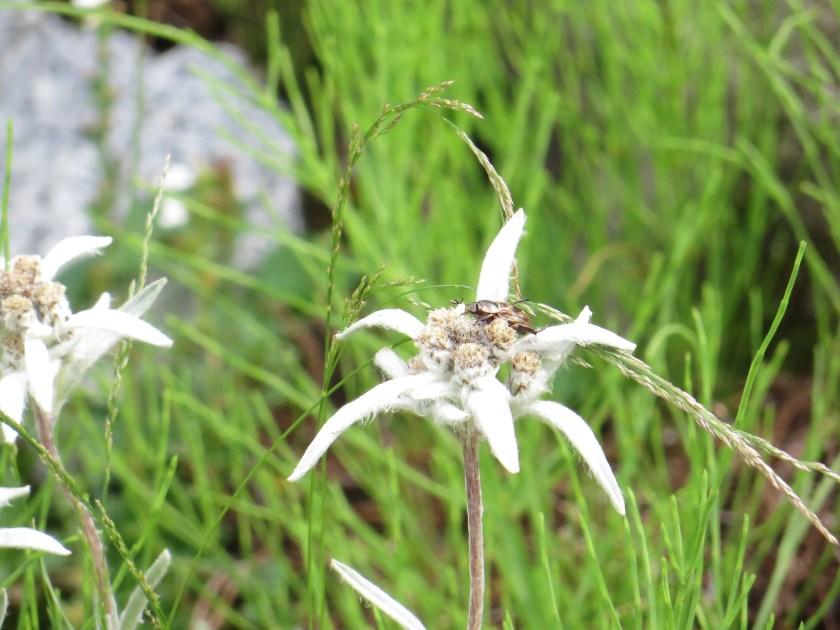 Leontopodium hayachinense/ ハヤチネウスユキソウ