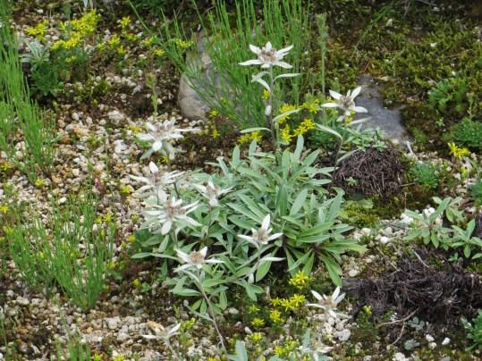 レブンウスユキソウ 花の様子