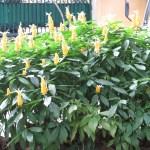 花壇に植えられたウコンサンゴバナ