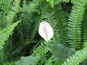 スパシフィラム 花のアップ