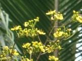 モクセンナ 少しまばらな花の様子(散り始め)