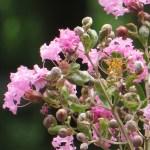 サルスベリ 花のアップ