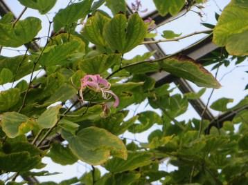 ムラサキソシンカ 花の様子