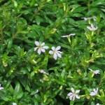 メキシコハコヤナギ (Dwarf) 花の様子