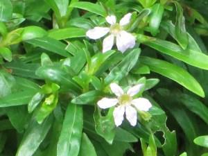 メキシコハコヤナギ (Dwarf) 花の姿