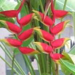 ヘルコニア (Heliconia rostrata)花の姿