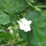 マツリカ 花の姿