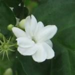 マツリカ 花のアップ