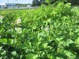 ジャガイモ 花の咲いている様子