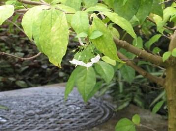 オマツリライトノキ 花の様子