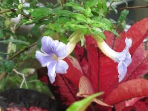 コダチヤハズカズラ 珍しい色の花の姿