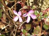 アルスロステンマ・パルビフォリウム 花の姿