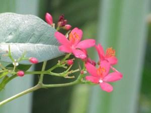 ホコバテイキンザクラ 花のアップ