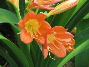 クンシラン 花のアップ