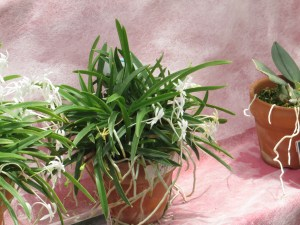 フウラン 花の様子